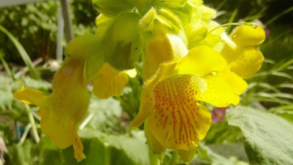 イビセラ・ルテアの花